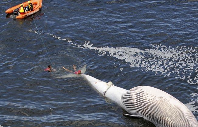 一头死去的布氏鲸