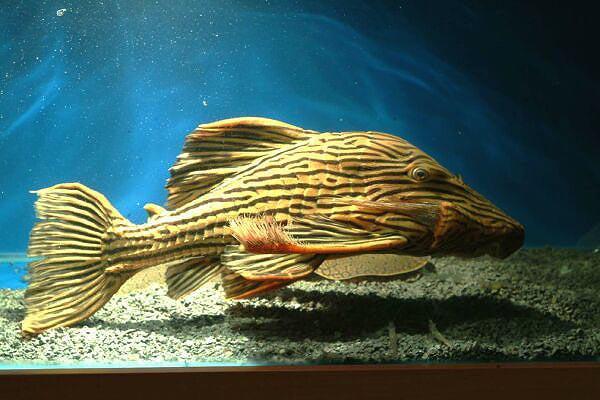 申谷白金皇冠豹异型鱼