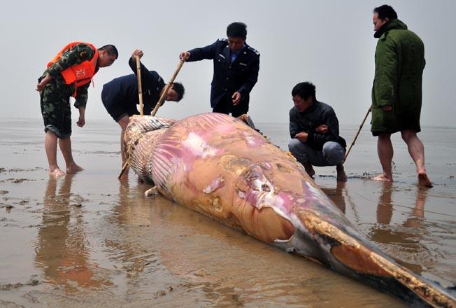 山东潍坊发现一头死亡鲸鱼