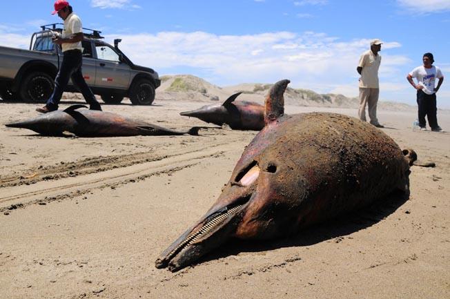 877头海豚先后在海滩搁浅