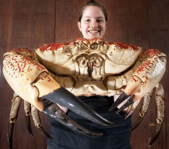 巨型帝王蟹 每只蟹肉达18斤