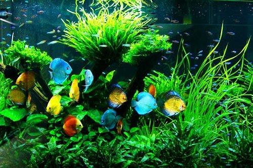 七彩神仙鱼的水质管理