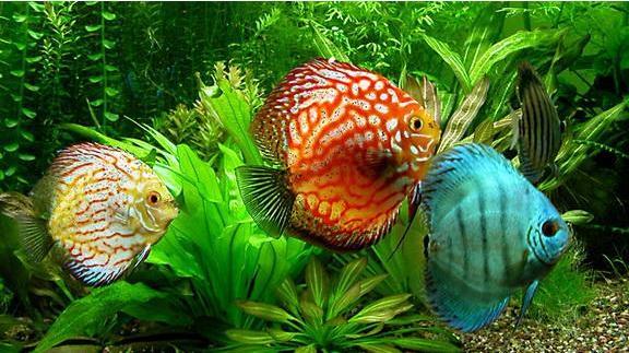 七彩神仙鱼养殖经验谈