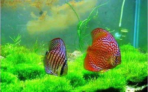 饲养七彩神仙鱼对于水质的要求