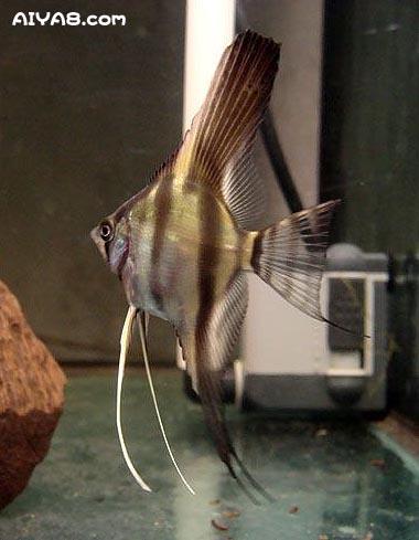 秘鲁神仙鱼