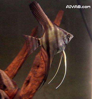 秘鲁神仙鱼图片