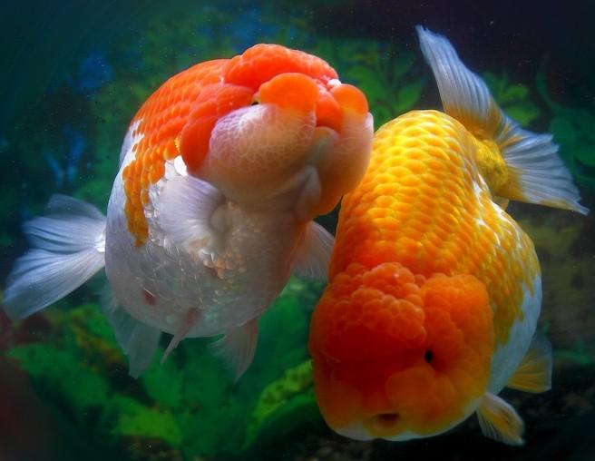 金鱼的养殖容器