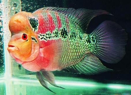 罗汉鱼鱼缸造景