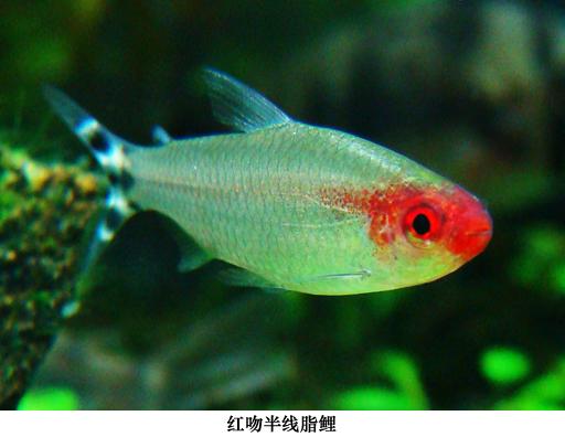 红头剪刀鱼