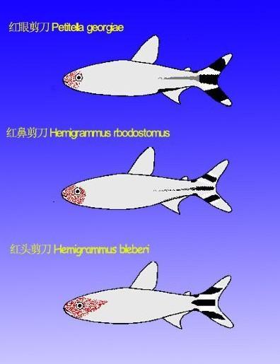 红头煎刀鱼、红鼻煎刀鱼、红眼剪刀鱼的区别