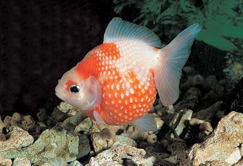 饲养金鱼换水方法