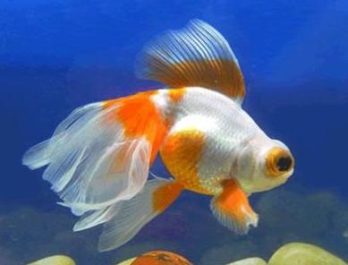 凤尾龙睛金鱼