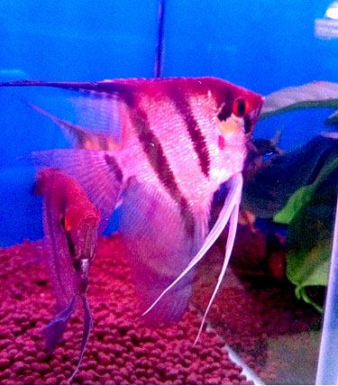 云石神仙鱼图片