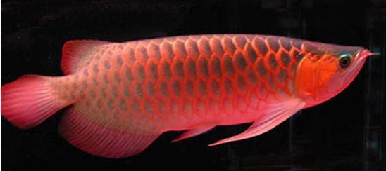 红龙鱼养殖十大误区