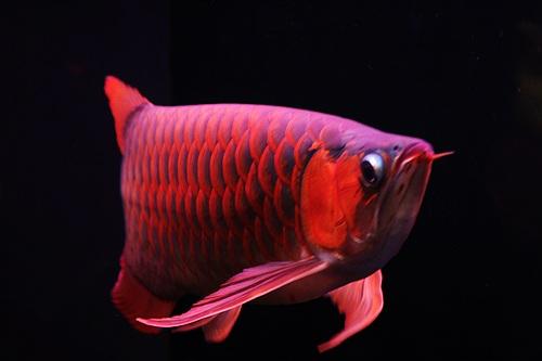 红龙鱼超美图片