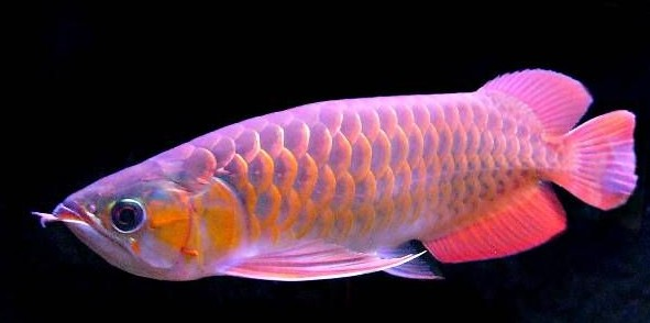 红龙鱼种群分布现状