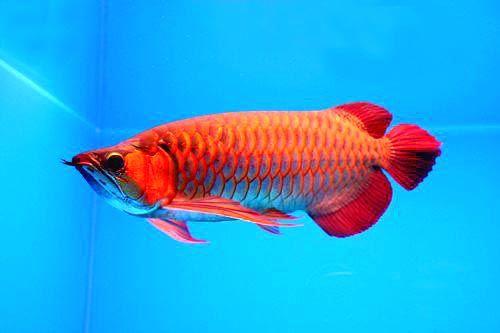 亚洲龙鱼发展史