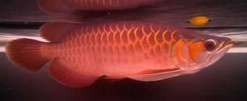 龙鱼的白点病症状与防治方法
