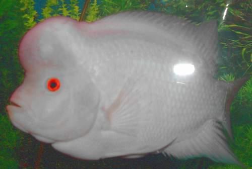白玉罗汉鱼