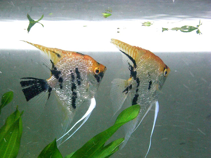 三色神仙鱼