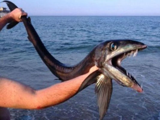 美国海滩现深海怪鱼:嘴长獠牙有食人倾向