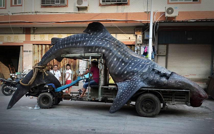 捕获鲸鲨体长约4.5米重2吨