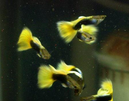 黄尾礼服孔雀鱼