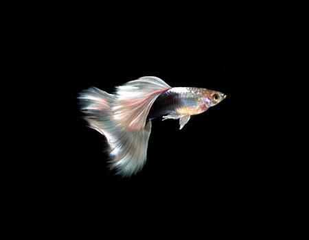 黄尾礼服孔雀鱼资料