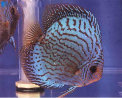 七彩神仙鱼繁殖技术