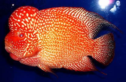 德萨斯罗汉鱼图片