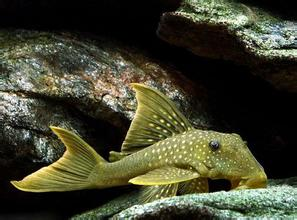 高帆金钻异型鱼