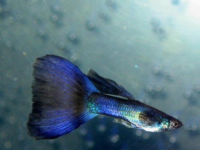 莫斯科蓝孔雀鱼图片