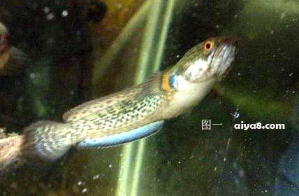 七彩雷龙鱼母鱼
