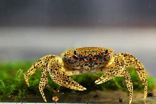 春季河蟹养殖技术要点