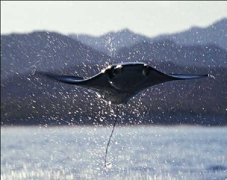 水下魔鬼 会飞行的海洋生物