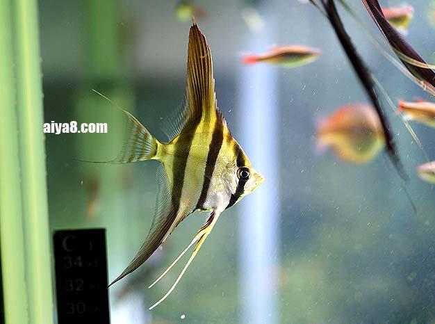 埃及神仙鱼