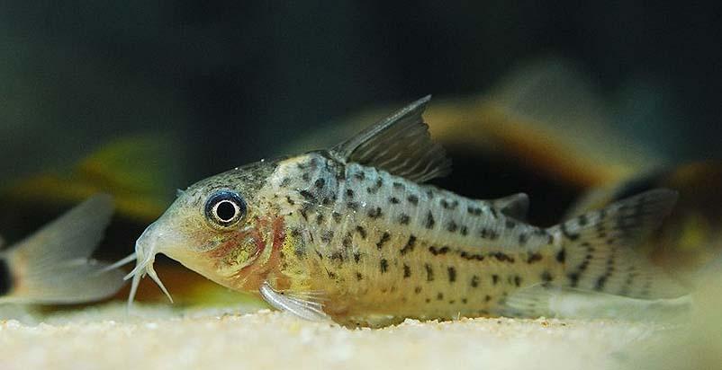 阿卡西鼠鱼