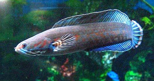 阿萨姆七彩雷龙鱼