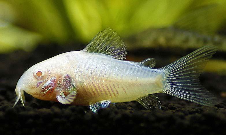 白鼠鱼怎么养