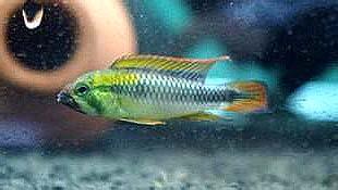 白玉凤凰鱼