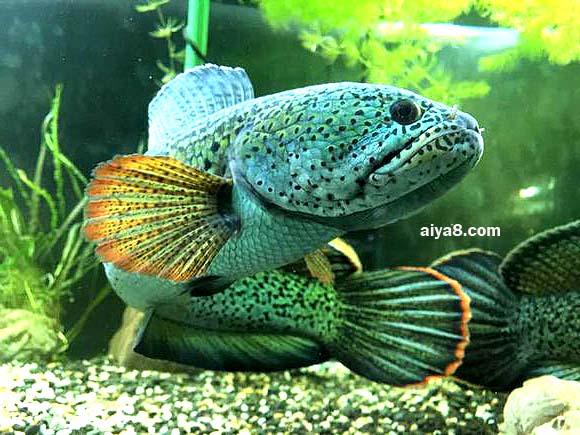 巴卡雷龙鱼怎么养