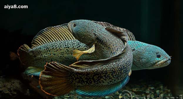 巴卡雷龙鱼