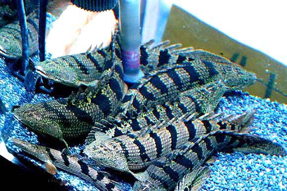 斑节恐龙鱼