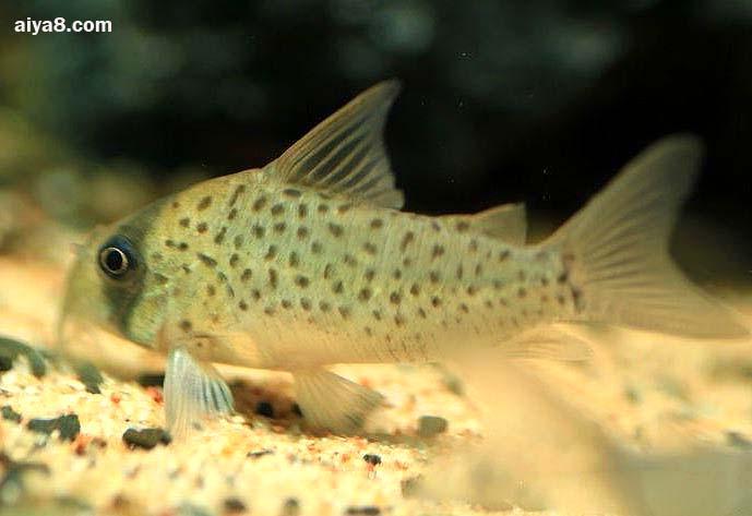 白豹鼠鱼图片