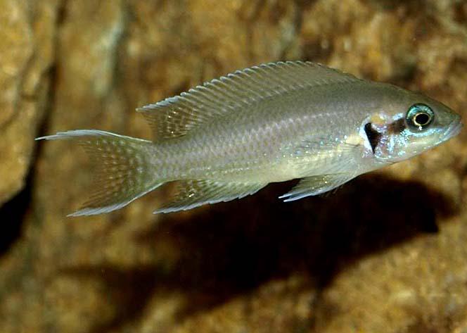 白边燕尾鱼