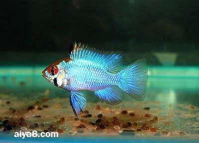 宝蓝凤凰鱼图片