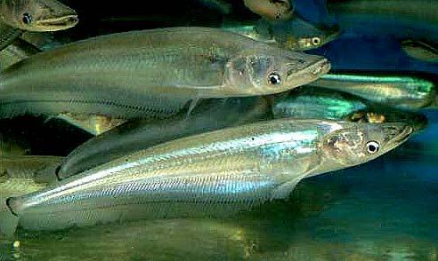 玻璃海象鱼