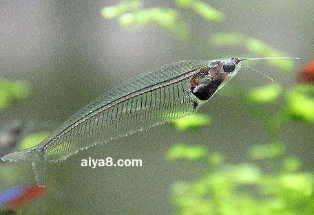 玻璃猫鱼怎么养