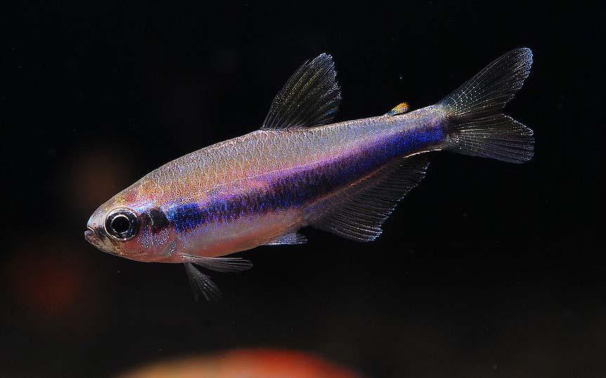 蓝国王灯鱼