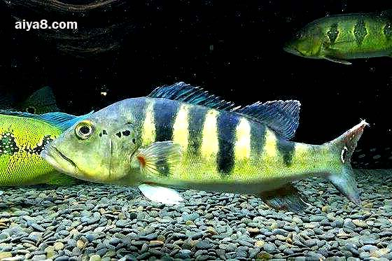 帝王三间鱼图片